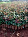 Poly House Dutch Rose Plants