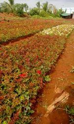 Dutch Rose Flowers Plants