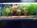 Exotic Aquarium Live Plants