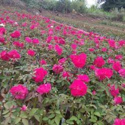 Kashmiri Open Field Rose Plants