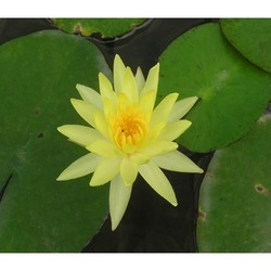 Yellow Lotus View Specifications Details Of Fresh Flower By Rbg