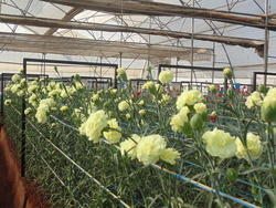 Agriculture Polyhouse Cultivation Service