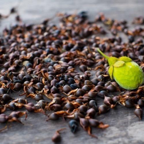 Agarwood Seeds | Jaapi Assam Company | Manufacturer in Danki