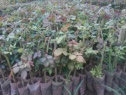 Gyldiator Rose Plants