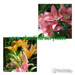 Lillium Flowering Plant