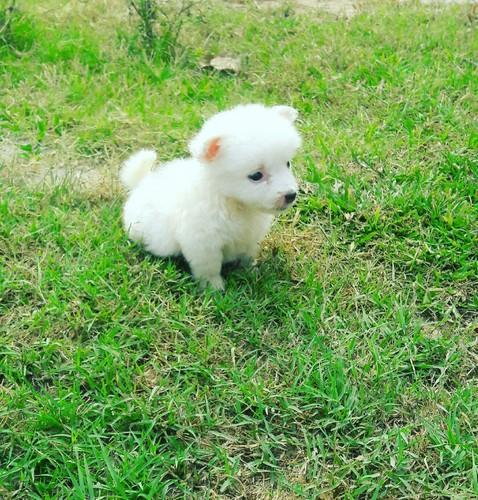 Pomeranian male female puppies at rs 5000 number gill road pomeranian male female puppies altavistaventures Images