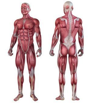 Human Skeleton Fiber Model at Rs 6000 /piece | Anatomical Models ...