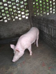 Male Pig Live Stock