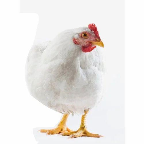 Poultry Broiler Hen - Boiler Chicken Wholesaler from ...