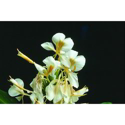 Hedychium Floral Water