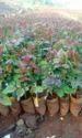 Too, Secret Dutch, Rose Plants
