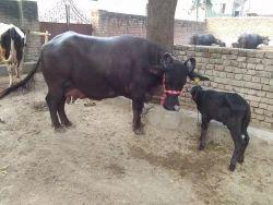 Murrah buffalo - Murrah Buffalo Animal / Crop Production from Karnal