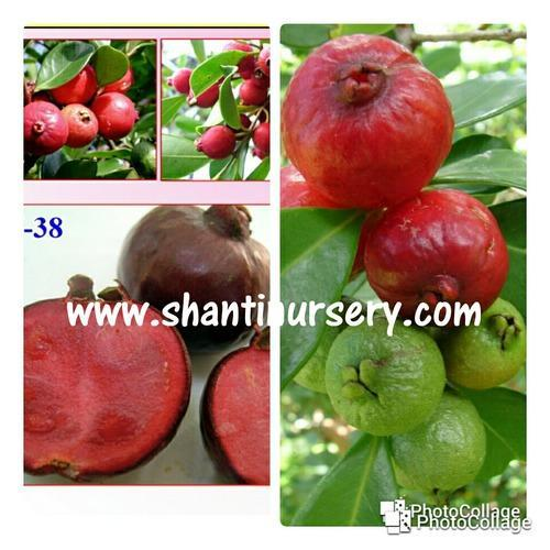 Strawberry guava - Strawberry Guava Plant Manufacturer from