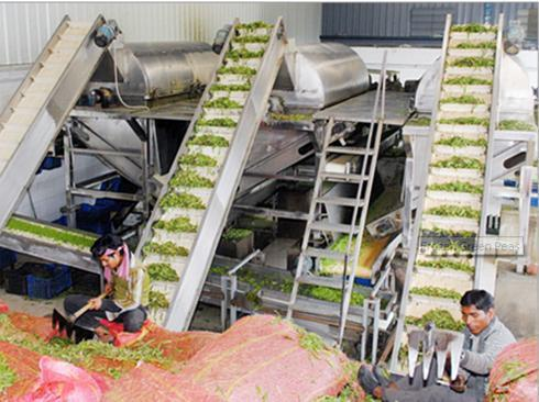 Vegetable Processing Plant - Green Pea Processing Machinery