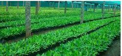 Banana Cultivation Services