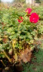 Hybrid Rose Plants