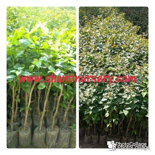 Flowering Plant And Fruit Manufacturer Shanti