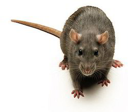 Rodent Control Solution