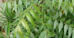 Neem Patti/Azadirachta Indica