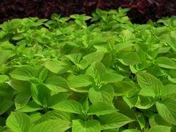 Coleus Plant   For Healthy Life