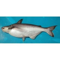 Ashirvad Farms, Nadia - Manufacturer of Desi Magur Fish and