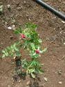 Gladiator, Hybrid Rose Plant