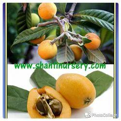 Loquat Fruit Plant