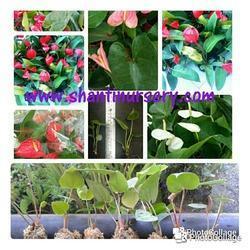 Anthurium Flowering Plant