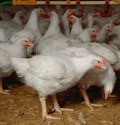 Live Broiler Chicken