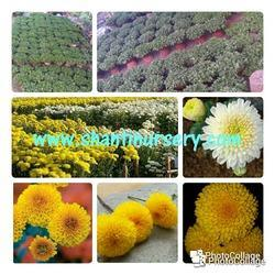 Chrysanthemum Meri Gold Plant