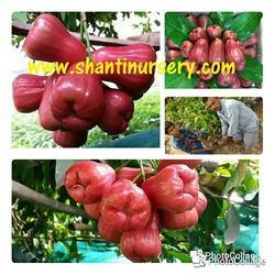 Water Apple Fruit Plant Red