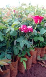 Roses Plants