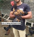 Desi Chicken, 1 Day, Packaging Size: 100 Chicks