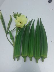 Bhindi/okra Hybrid And Op Seed