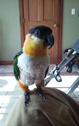 Caique Bird