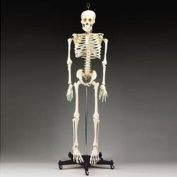 human skeleton manufacturers, suppliers & exporters, Skeleton