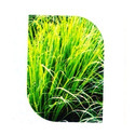 Lemon Grass Seed
