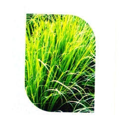 Lemon Grass Seed