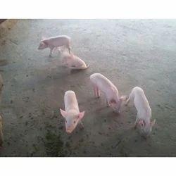 Newborn Piglet