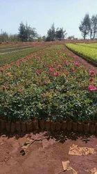 Hot Shot Dutch Rose Plants
