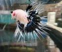 Black White Combo Betta Fish
