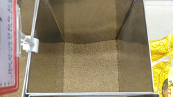 Bhivapuri Wheat