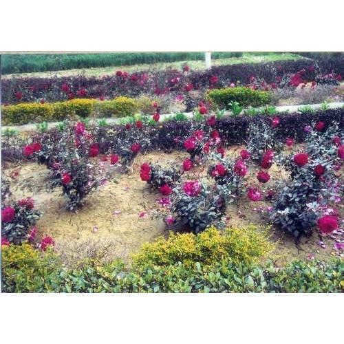 Rose Plant At Rs 10 Piece