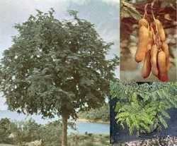 Sweet Tamarind Trees