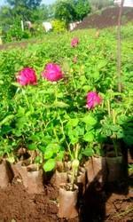 Gladiator Rose Plants