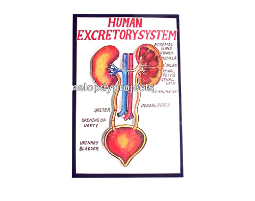Excretory System With Lights Models At Rs 450 Pieces Human