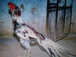Rooster Hen