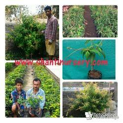 Thai All Time Mango Plant