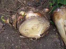 Raw Banana Plantation Seeds