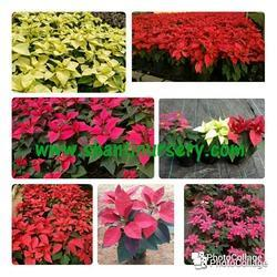 Poinsettia Flowering Plant